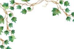 Groene bladerenklimop het beklimmen wijnstok, hangende tak van ingemaakte klimop binnen houseplant geïsoleerd op witte achtergron stock illustratie