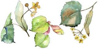 Groene bladerenlinde Botanisch de tuin bloemengebladerte van de bladinstallatie Geïsoleerd illustratieelement vector illustratie