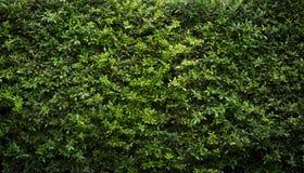 Groene bladerenmuur Royalty-vrije Stock Foto's