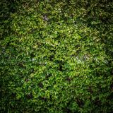 Groene bladerenmuur stock fotografie