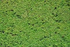 Groene Bladerenmuur of boomomheining voor achtergrond Stock Foto's