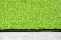 Groene Bladerenmuur of boomomheining voor achtergrond Royalty-vrije Stock Foto's