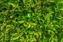 Groene bladerenmuur die gebruikt voor achtergrond kan stock foto's