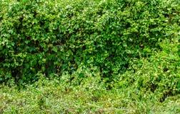 Groene bladerenmuur en grasvloer Royalty-vrije Stock Fotografie