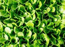 Groene bladerensalade in de tuin van de huistuin Royalty-vrije Stock Fotografie