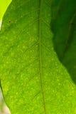 Groene bladerenstrepen Royalty-vrije Stock Afbeeldingen