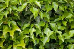 Groene bladerentextuur stock afbeelding