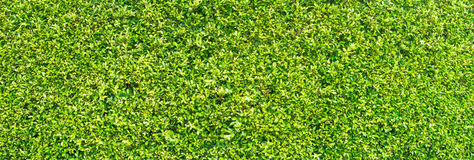 Groene bladerentextuur voor achtergrond Stock Afbeelding