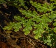 Groene bladerenvaren Stock Afbeelding