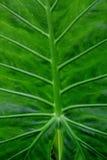 Groene bladinstallatie Royalty-vrije Stock Afbeeldingen