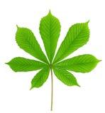 Groene bladkastanje Royalty-vrije Stock Afbeeldingen