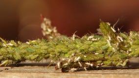 Groene bladluisinsecten die sap op jonge roze knop zuigen stock video