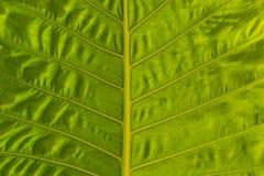 Groene bladtextuur Royalty-vrije Stock Afbeeldingen