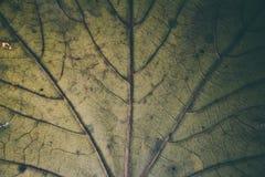 Groene bladtextuur en achtergrond Macromening van groene bladtextuur Organisch patroon Abstracte textuur & achtergrond voor ontwe Royalty-vrije Stock Fotografie