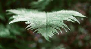 Groene bladvaren in het bosclose-up Mooi varenblad Bosgreens royalty-vrije stock afbeelding