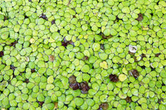 Groene bladwaterplant Stock Foto's