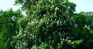 Groene bloeiende de kastanjeboom van Kiev, een symbool van de stad ukraine Hommelvlucht stock footage