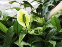 Groene bloem met enig blad Stock Foto