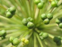 Groene bloemmacro Royalty-vrije Stock Foto's