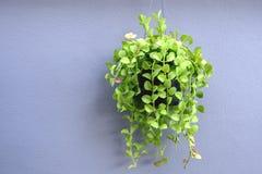 Groene bloempot op grijze muurachtergrond royalty-vrije stock afbeeldingen