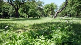 Groene bomen in het park Gras en installaties op het gazon stock videobeelden