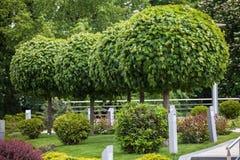 groene bomen met een ronde vorm Royalty-vrije Stock Foto's