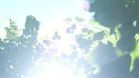 Groene Bomen tegen Blauwe Hemel en Glanzende Zon Het Concept van de vakantieaard De zomer in openlucht stock videobeelden