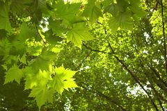 Groene bomenachtergrond Royalty-vrije Stock Foto