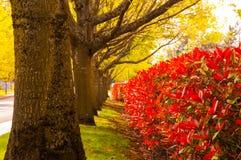 Groene bomensteeg en rode struiken royalty-vrije stock afbeeldingen