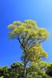 Groene boom en Blauwe hemel Royalty-vrije Stock Afbeeldingen