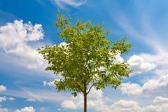 Groene boom op blauwe hemel Royalty-vrije Stock Foto's