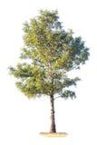 Groene boom op witte achtergrond Royalty-vrije Stock Afbeeldingen