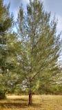 Groene boom, pijnboomboom, volledige boom Groen Royalty-vrije Stock Fotografie