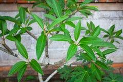 Groene boombladeren na de regen tegen een bakstenen muur Stock Afbeeldingen