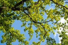 Groene boombladeren tegen de blauwe hemel stock afbeeldingen