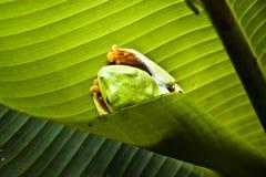 Groene boomkikker Royalty-vrije Stock Afbeelding