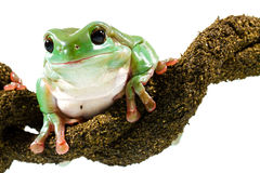 Groene boomkikker Royalty-vrije Stock Afbeeldingen