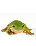 Groene boomkikker Stock Fotografie