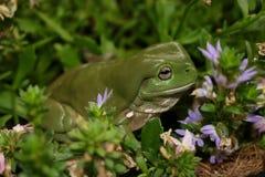 Groene Boomkikker een Australische Tuin Royalty-vrije Stock Fotografie
