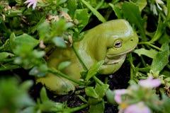 Groene Boomkikker een Australische Tuin Stock Foto's