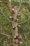 Groene boomstam van sparren met boegen en naalden Stock Foto
