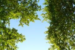 Groene boomtak met duidelijke hemelachtergrond Stock Fotografie