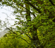 Groene Boomtakken, Pakistan Royalty-vrije Stock Fotografie
