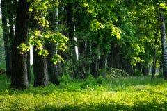 Groene bos Bos de aardachtergrond van Forest Summer Groene bomen op grasrijke weide stock afbeelding