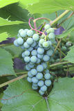 Groene bos van druiven Stock Foto's