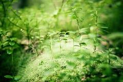 Groene bosachtergrond Stock Foto's