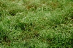 Groene boshorsetail als achtergrond Abstracte achtergrond, exemplaarruimte royalty-vrije stock foto