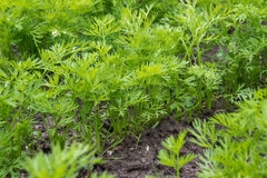 Groene bovenkanten van wortelen Stock Fotografie