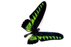 Groene briljante vlinder Stock Foto