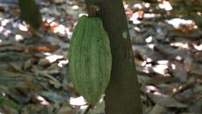 Groene cacaopeul op een boom in Ecuador stock video